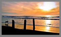 Sunset at Ft. Funston's beach (Oscardaman) Tags: sunset ft funstons beach a dogs lifea moment san francisco