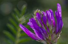 Dewy morning (lkiraly72) Tags: aphid dew droplet purple smileonsaturday preciouspurple morning