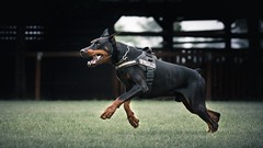 Chase (zola.kovacsh) Tags: outdoor animal pet dog doberman pinscher dobermann club show