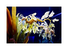 The Leafy Seadragon (BlueisCoool) Tags: flickr foto photo image capture picture photography sony cybershot dscw300 macro color colorful bright vivid pretty beautiful aquariam seahorse florida theleafyseadragon sealife marineanimal marinefish thefloridaaquarium tampaflorida