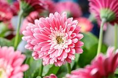 Daisy (YY) Tags: lisse keukenhof southholland netherlands flowers macro
