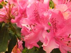 Pink Rhododendron (Cornishcarolin. Stupid busy!! xx) Tags: cornwall httpswwwnationaltrustorguktrelissick flowers rhododendron tree nature