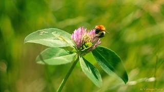 Bombus in Trifolium