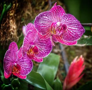 Toronto Ontario - Canada - Allan Gardens Conservatory  -  Landmark Botanical Gardens -  Orchids
