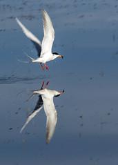 Common Tern (poormommy) Tags: tern commontern bird water marsh reflection splash wings flying flight franklake alberta challengegamewinner friendlychallenges 15challengeswinner