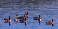 Bernaches du Canada (Robert Dupont) Tags: outarde bernacheducanada brantacanadensis canadagoose lightzone oiseaumigrateur sigma150500mmf563apodghsmos parcdesrapides wildlifephotography naturephotography robertdupont