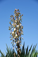 DSC_0245 Yucca Gloriosa 'Variegata' (PeaTJay) Tags: nikond750 reading lowerearley berkshire macro micro closeups gardens outdoors nature flora fauna plants flowers yucca