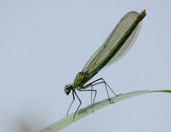 Banded Demoiselle (f) (yvonnepay615) Tags: panasonic lumix gh4 nature insect demoiselle rspb strumpshaw norfolk eastanglia uk ngc