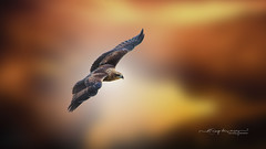 Flying high... (Anup Devaraj Clicks) Tags: nikkor eagle birdsphotography birds nikond3200 nikon