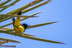 oriole yellow bird