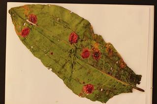 Puccinia phragmitis on Rumex sp.