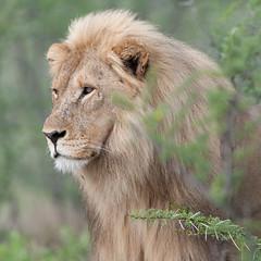 Lion. (annick vanderschelden) Tags: lionesses lion lioness cat mammal wildlife animal nature savannah bush grassland southernafricanlionesses etoshanationalpark grass trees africa southernafrica male head namibia