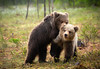 Playful bear cubs (CecilieSonstebyPhotography) Tags: bjørn cute finland bears fighting outdoor canon young play animal siblings brownbear markiii wild wildlife bear bearcubs forest canon5dmarkiii bokeh adorable animals ef100400mmf4556lisiiusm rain woods cubs specanimal ngc coth5