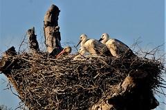 Estampa de familia (ameliapardo) Tags: cigüeñas nido dehesadeabajo sevilla andalucia españa naturaleza espacioprotegido fujixt1