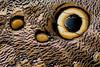 Owl butterfly wing (JulGlouton) Tags: owl butterfly caligo camouflage cryptic mimicry eyes eyespots ecuador bilsa rainforest choco biodiversity