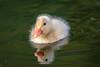 2H4A5388_IMG (.FB.com/WildeBoerPhotography) Tags: birds birdwatching waterbirds waterreflections vogels vogel eend duck reiger blauwereiger