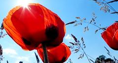 """Z albumu """"Maki"""". (andrzejskałuba) Tags: polska poland pieszyce dolnyśląsk silesia sudety europe panasoniclumixfz200 roślina plant kwiat flower kwiaty flowers czerwony red mak macro poppy pole field trawa green grass natura nature niebo niebieski blue sky sun"""