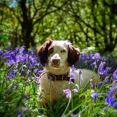 My Bear in the Bluebells (Missy Jussy) Tags: bluebells bluebellwood woodland wood forest piethornevalley trees grass dog dogwalk dogportrait pet petportrait animal animalportrait englishspringer spaniel springerspaniel springtime spring springflowers mansbestfriend malespringerspaniel outdoor outside countryside 50mm ef50mmf18ll ef50mm canon50mm fantastic50mm 5d canon5dmarkll canon5d canoneos5dmarkii canon bokeh littledoglaughedstories