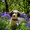 My Bear in the Bluebells (Missy Jussy) Tags: bluebells bluebellwood woodland wood forest piethornevalley trees grass dog dogwalk dogportrait pet petportrait animal animalportrait englishspringer spaniel springerspaniel springtime spring springflowers mansbestfriend malespringerspaniel outdoor outside countryside 50mm ef50mmf18ll ef50mm canon50mm fantastic50mm 5d canon5dmarkll canon5d canoneos5dmarkii canon bokeh