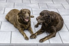 Emma and Ronja, two 12,5 y old Labrador sisters (antowo1) Tags: deutschland canon natur nature schwestern sisters chocolatelabrador chocolate labrador animal tier hund dog