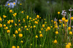 Flanders Moss 24 May 2018 00214.jpg (JamesPDeans.co.uk) Tags: forthemanwhohaseverything flowers buttercups nature printsforsale plants flandersmoss colour unitedkingdom yellow europe scotland britain stirlingshire greatbritain wwwjamespdeanscouk gb naturereserve wildflowers landscapeforwalls jamespdeansphotography uk digitaldownloadsforlicence
