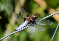 Broad-Bodied Chaser (Georgiegirl2015) Tags: broadbodiedchaser chaser dellalack photography june2018 nature lavernock canon countryside coastal ef300mm blue dragonfly male insecta wildlife wales lakes pond