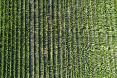 Hops (Matt Champlin) Tags: friday hops drone aerial drones dji farm farming abstract skaneateles growing growth life 2018