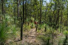 Track from Golden Staircase Falls (NettyA) Tags: australia goldenstairfalls mtbarneynationalpark qld queensland bushwalk bushwalking seqld scenicrim goldenstaircasefalls grasstrees xanthorrhoea track trail bushwalkers trees forest fence