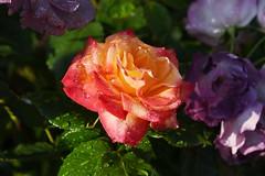 DSC_0224 (PeaTJay) Tags: nikond750 reading lowerearley berkshire macro micro closeups gardens outdoors nature flora fauna plants flowers rose roses rosebuds raindrops