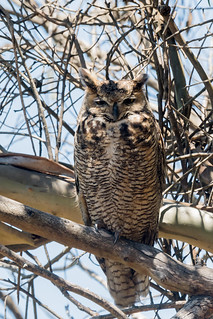 DSC_5126.jpg Great Horned Owl, Santa Cruz