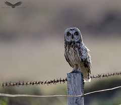 Short-eared owl (Andy Davis Photography) Tags: asioflammeus comhachagancluasach owl perched fence wire morning stare canon