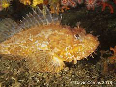 Roses - El Bisbe (CATDvd) Tags: canonpowershots120 fotosub underwaterphotography catalonia catalunya parcnaturalcapdecreus roses elbisbe may2018 catdvd davidcomas httpwwwdavidcomasnet httpwwwflickrcomphotoscatdvd cabracho devilfish escórpora scorpionfish