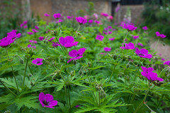 Geraniums (Adam Swaine) Tags: flowers flora gardens churchyard eastdulwich nature naturelovers summer canon beautiful petals geraniums england english britain british plants purplegreen uk london
