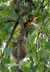 feeding (kerwilliger) Tags: birds madison wisconsin arboretum baltimore oriole icterus galbula nest feeding nestling cottonwood