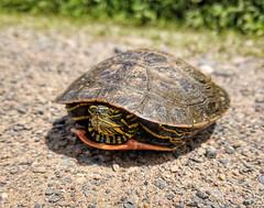 Western Painted Turtle (U.S. Fish and Wildlife Service - Midwest Region) Tags: minnesota mn spring june 2018 summer sherburne nwr refuge nationalwildliferefuge nature wildlife animal turtle paintedturtle road