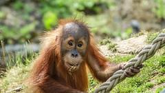 Beautiful Baby (YᗩSᗰIᘉᗴ HᗴᘉS +17 000 000 thx) Tags: baby orangoutan singe gorille animal lovely nice zoo pairidaiza hensyasmine namur belgium europa aaa namuroise look photo friends be wow yasminehens interest intersting eu fr greatphotographers lanamuroise tellmeastory flickering faune fauna 7dwf