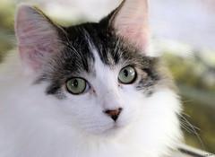 Eye To Eye (Lisa Zins) Tags: lisazins noah cat catface feline kitten petsandanimals pets animals face dmh white macro canon rebel t7i tamronmacrolens eyes