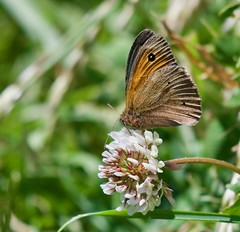 Meadow Brown butterfly - Taken at Titchmarsh Nature Reserve, Aldwincle, Northants. UK (Ian J Hicks) Tags: