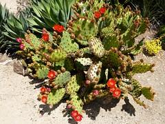 Flowering cactus, Cactus Garden, Stanford U. campus, Palo Alto (ali eminov) Tags: paloalto california universities stanforduniversity plants tropicalplants cactus flowers cactusgarden