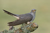 Cuckoo (MOZBOZ1) Tags: cuckoo cuculuscanorus nicewood birdonastick