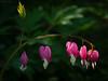 20180524-_DSC4306.jpg (kjbax) Tags: flowers dicentra