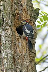 DSC_3668 (LorenzoMarini) Tags: picchiorossomaggiore dendrocoposmajor greatspottedwoodpecker