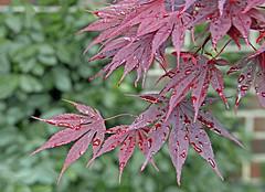 After the rain (tmattioni) Tags: japaneseredmaple raindrops cmwd monday