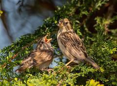 Mama please.... (xDigital-Dreamsx) Tags: bird fledgling sparrow nature naturephotography wildlife sunlight springtime chick