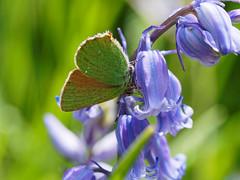 2018.05.27 Arne (15) (Kotatsu Neko 808) Tags: arne dorset rspb rspbarne insects macro olympus60mm butterfly greenhairstreak