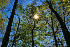 Forest Canapy_8808 (David Basiove) Tags: beautiful sunny summer leafy leafs leaves green light sun forest trees