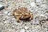 American Toad (Bufo americanus) (matthew.vortex) Tags: veteranswma georgetown a6000 sony kentucky nature amphibians toad