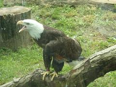5/26/18 - Akron Zoo: Petry (mavra_chang) Tags: animals birds seaeagles baldeagles