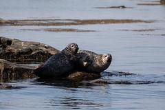 Common seal (Jens Hyldstrup Larsen) Tags: spættetsæl commonseal harbourseal phocavitulina rovdyr carnivora ægtesæler phocidae