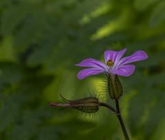Nothing But Flowers (markrd5) Tags: springtime spring sprang sprout weeds herbrobert geraniumrobertianum macro flowers talkingheads nothingbutflowers sprung